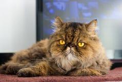 Gato persa rajado Imagem de Stock
