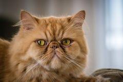 Gato persa rojo Foto de archivo