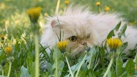 gato persa Salte en un césped verde en flores amarillas del diente de león almacen de metraje de vídeo
