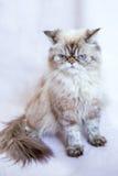 Gato persa um fundo claro Foto de Stock Royalty Free