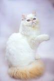 Gato persa um fundo claro Imagem de Stock