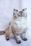 Gato persa un fondo ligero Foto de archivo libre de regalías
