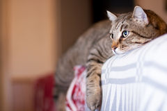 Gato preguiçoso Foto de Stock