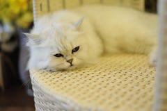 Gato preguiçoso Imagem de Stock