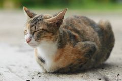 Gato preguiçoso branco e marrom que dorme na terra Fotografia de Stock