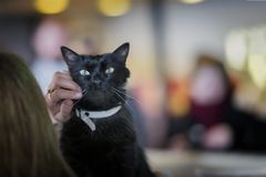 Gato preto adorável com os olhos verdes bonitos nas mãos do voluntário da menina, no abrigo para os animais desabrigados que espe fotos de stock royalty free