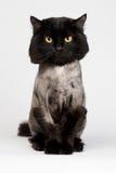 Gato preto barbeado imagens de stock