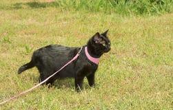 Gato preto brilhante no chicote de fios cor-de-rosa com um olhar alerta Fotos de Stock