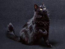 Gato preto brincalhão e curioso em um fundo escuro Assento e vista acima com uma pata aumentada Fotografia de Stock Royalty Free
