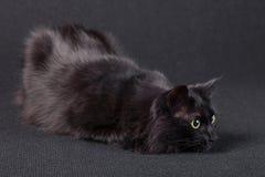 Gato preto brincalhão em um fundo escuro, encontrando-se para baixo em uma posição de caça e preparando um salto para atacar Fotografia de Stock