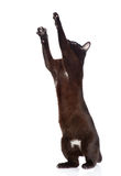 Gato preto brincalhão No fundo branco Imagem de Stock Royalty Free