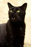 Gato preto com boca aberta Fotografia de Stock Royalty Free
