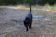 Gato preto com caminhadas amarelas dos olhos Fotografia de Stock Royalty Free