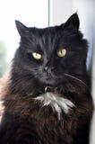 Gato preto com olhos amarelos Fotos de Stock Royalty Free