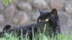 Gato preto com os olhos amarelos exteriores O gato preto encontra-se fora na grama que olha o cerco Selkirk Rex vídeos de arquivo