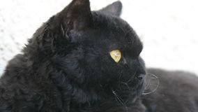Gato preto com os olhos amarelos exteriores O gato preto encontra-se fora no balcão, olhando Selkirk Rex vídeos de arquivo
