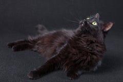 Gato preto curioso que encontra-se para baixo no lado e que olha acima em um fundo escuro Fotos de Stock