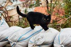 Gato preto doméstico no fotos de stock royalty free
