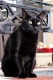 Gato preto doméstico imagem de stock royalty free