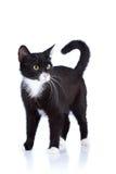 Gato preto e branco. Imagens de Stock