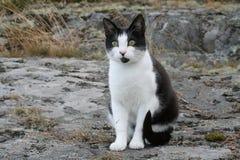 Gato preto e branco Foto de Stock
