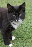 Gato preto e branco fotografia de stock