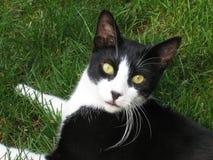 Gato preto e branco Imagem de Stock