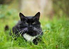 Gato preto e branco adulto Fotografia de Stock Royalty Free