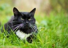 Gato preto e branco adulto Foto de Stock Royalty Free