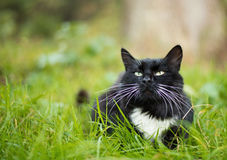 Gato preto e branco adulto Fotos de Stock Royalty Free