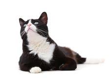 Gato preto e branco bonito que olha acima Fotos de Stock Royalty Free