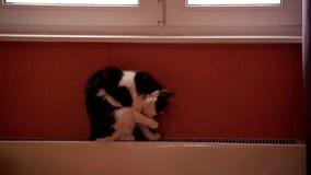 Gato preto e branco bonito que senta-se em uma bateria e em uma lavagem do aquecimento central video estoque