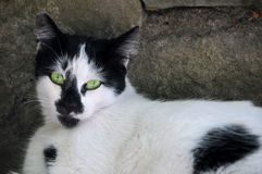 Gato preto e branco com olhos verdes Fotografia de Stock