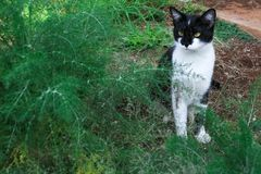 Gato preto e branco curioso nos arbustos fotos de stock
