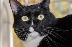 Gato preto e branco do focinho em um fundo claro Fotografia de Stock Royalty Free