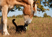 Gato preto e branco e seu amigo, cavalo belga fotografia de stock