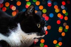 Gato preto e branco em um fundo de luzes coloridas Fotos de Stock
