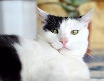 Gato preto e branco irritado Fotos de Stock Royalty Free