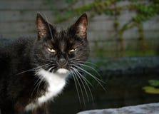 Gato preto e branco irritado Fotografia de Stock Royalty Free
