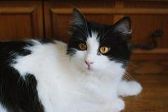 Gato preto e branco macio Imagens de Stock