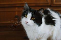 Gato preto e branco macio Fotos de Stock Royalty Free