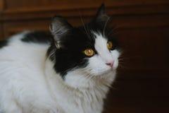 Gato preto e branco macio Imagem de Stock Royalty Free