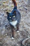 Gato preto e branco na jarda Fotografia de Stock