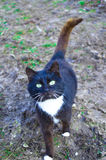 Gato preto e branco na jarda Foto de Stock