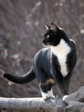 Gato preto e branco que anda na cerca de trilho Fotografia de Stock