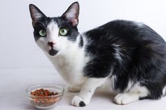 Gato preto e branco que come o alimento seco imagens de stock royalty free