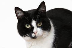 Gato preto e branco que olha a câmera Imagem de Stock