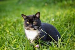 Gato preto e branco que senta-se na grama Imagens de Stock Royalty Free