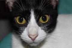 Gato preto e branco surpreendido imagens de stock
