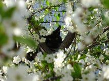 Gato preto e flor de cerejeira Fotos de Stock Royalty Free